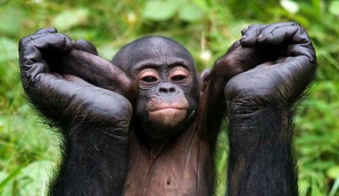 Человекообразные обезьяны Бонобо