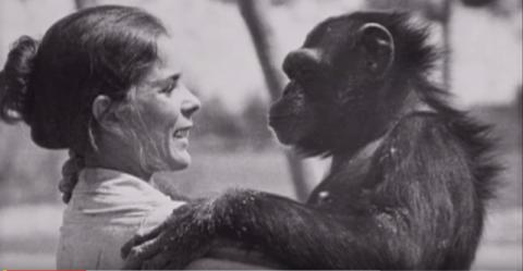 Шимпанзе не забыла, что сделала эта женщина. Спустя 18 лет они наконец встретились