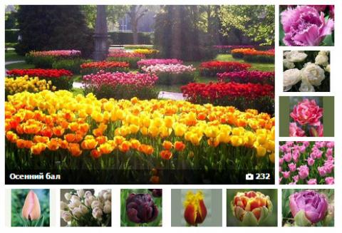 тюльпаны купить, совместные покупки, совместная закупка тюльпаны, цветы купить СП