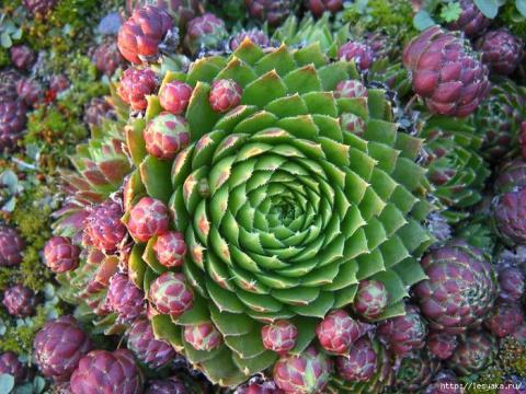 Интересное и необычное растение - каменная роза
