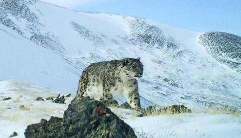 На Алтае сделали уникальные снимки снежного барса