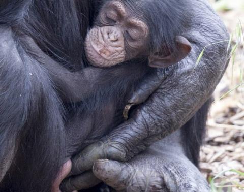 Беременная шимпанзе взяла под опеку осиротевшего детеныша