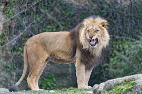 То, что сделали львы при вст…