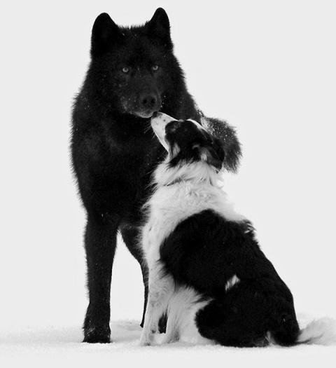 Он смотрел, как дикий волк подошёл к его собаке. А потом случилось невероятное