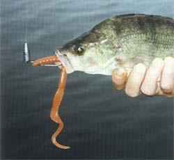 Зачем рыбе искусственный червяк?