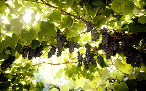 Какие сорта винограда можно выращивать без укрытия в средней полосе