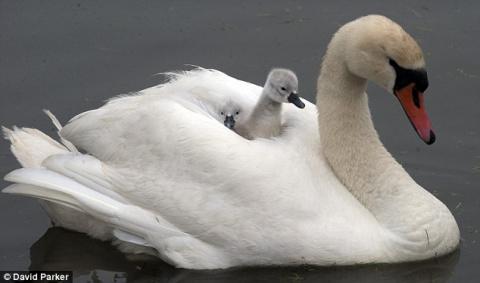 Лебедь с лебедятами (5 фото)