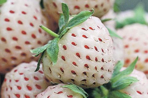Белоплодная земляника набирает популярность. Как вырастить ее на даче?