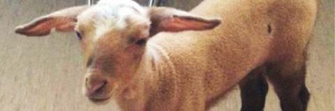 Спасение овцы из борделя