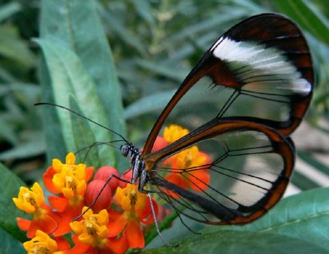 Удивительная бабочка со «стеклянными» крыльями