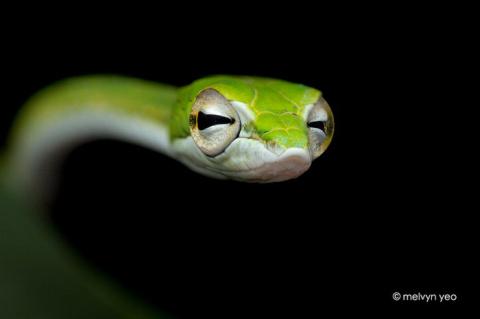 Змеи, лягушки и ящерины в фотографиях Melvyn Yeo