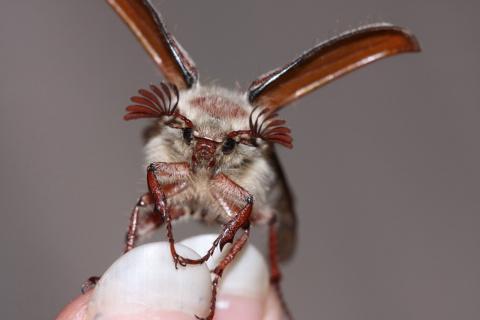 Борьба с майским жуком: личный опыт