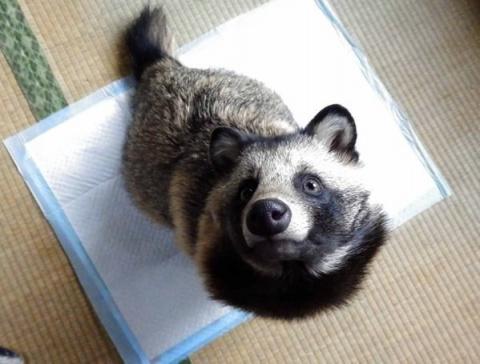 Интернет влюбился в енотовую собаку по кличке Тану