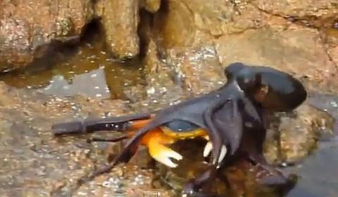 Как охотиться осьминог - видео