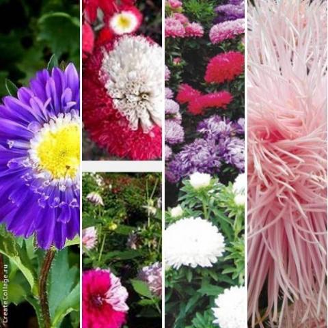 Астра — выращивание и уход (подборка)