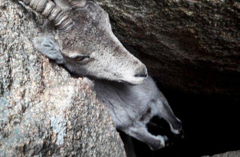 В испанских горах спасли коз…