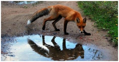 Бешеная лисица напала на водителя грузовика, но он нашел чем ей ответить