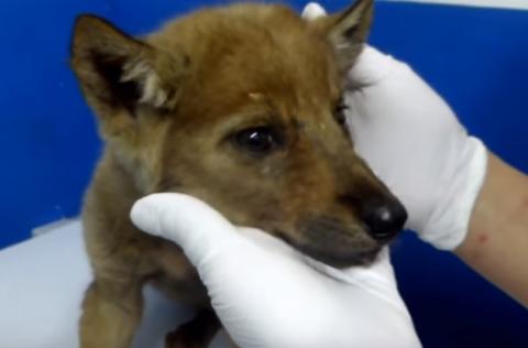 Волчонок, спасенный мурманчанами в Карелии, обживается на новом месте