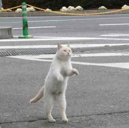 Кошки умеют ходить на двух лапах! Сколько смотрю - столько смеюсь )