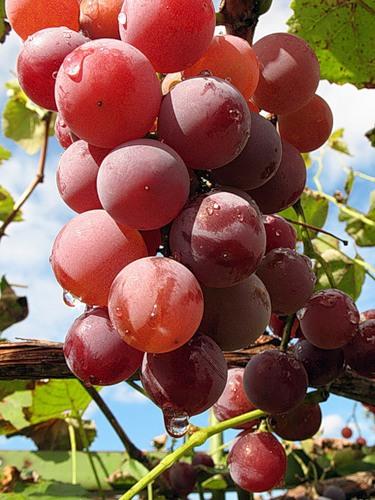 Виноград способен спасти от слепоты