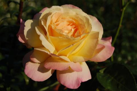 Сколько цветут розы в саду