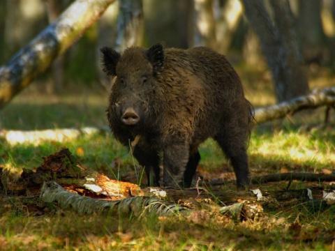 Любовь к свинине зависит от …