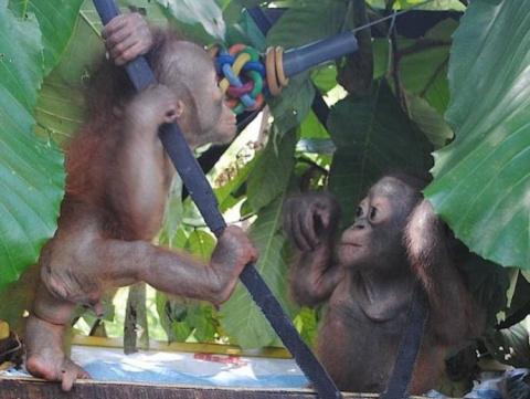 Маленький орангутан Буди нашел себе приятеля для игр