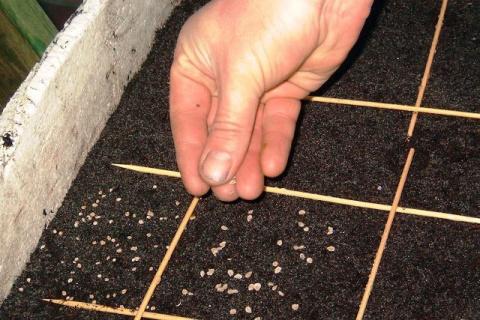 Памятка огороднику: сейте семена правильно!