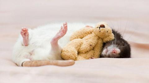 10 причин отбросить предрассудки и полюбить крыс