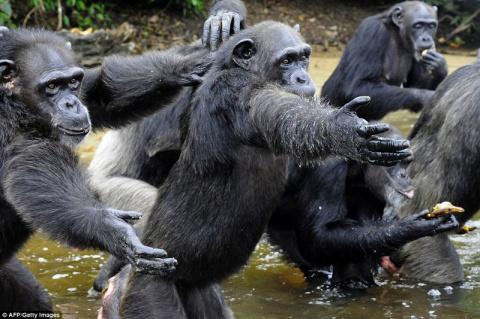 66 обезьян и детеныш: История шимпанзе, брошенных медфирмой после проведения экспериментов