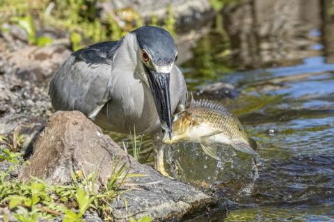Удачливые рыболовы! Замечательные кадры птичьей рыбалки