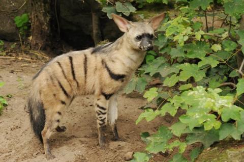 Африканские земляные волки — самые милые маленькие животные в мире
