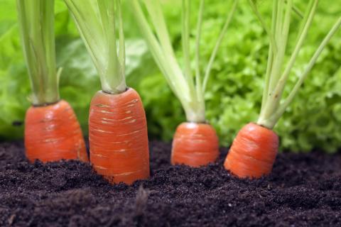 Нужно ли окучивать морковь?