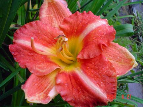 5 важных правил выращивания красивых лилейников