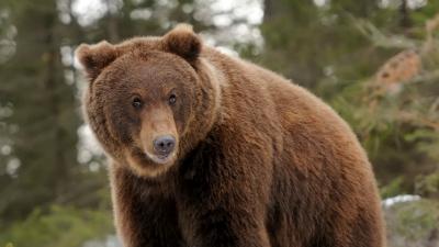 В Подмосковье вернулись медв…