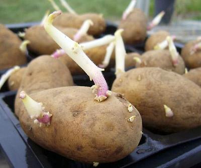 Грамотная предпосадочная подготовка картофеля – залог суперурожая