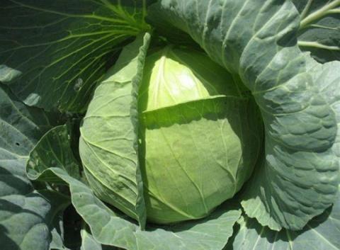 Ранняя капуста - лучшие сорта и особенности выращивания