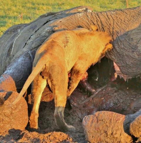 Гиена спряталась от льва