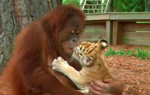 Орангутан стал заботливым приёмным отцом для трёх маленьких тигрят