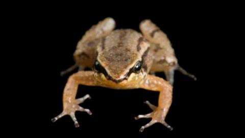 Редких лягушек спасут от извержения вулкана