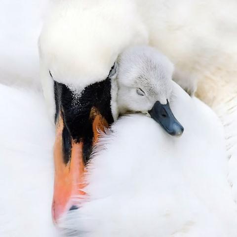 Пернатые мамы с малышами