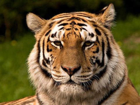 Красная книга России: амурский тигр