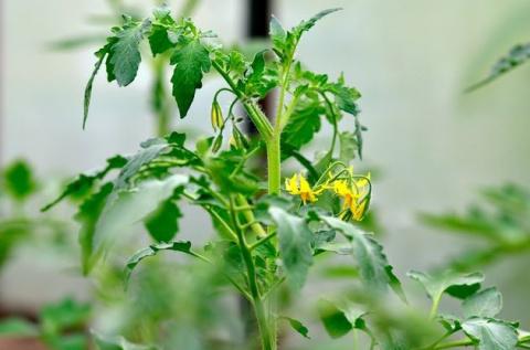 Проблемы томатов в дождливую погоду