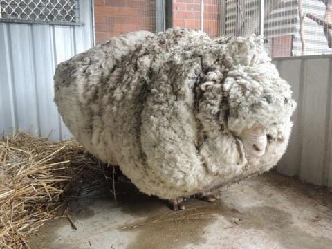 Рекордсменка среди овечек