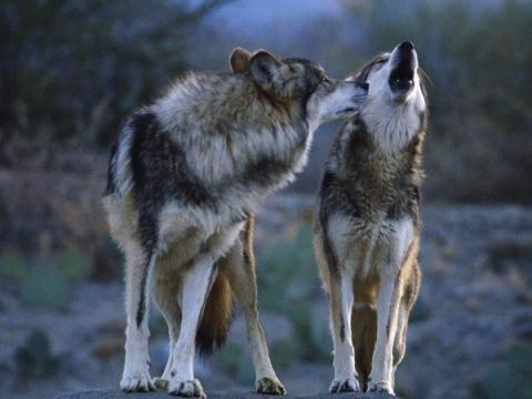 Как волки меняют направление рек.