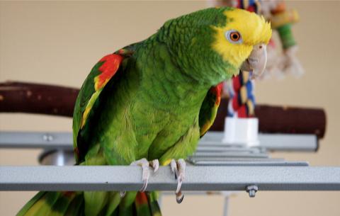 Объявление о продаже попугая…