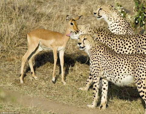 Удивительное поведение гепардов