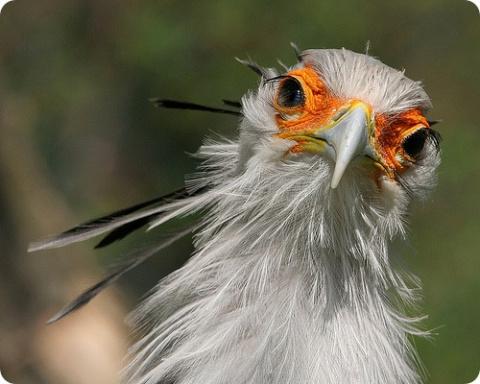 Птица секретарь: птица, беру…