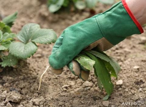 Как победить 5 самых живучих сорняков