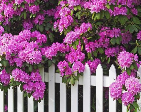Рододендроны: самый изысканный букет вашего сада